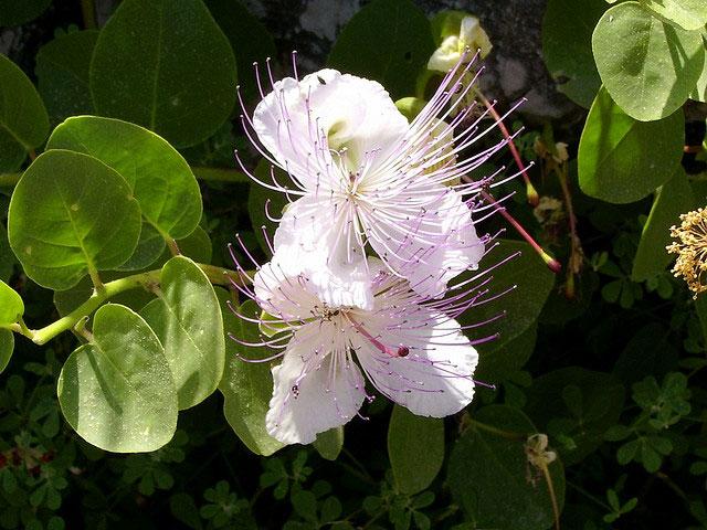fiore-di-cappero